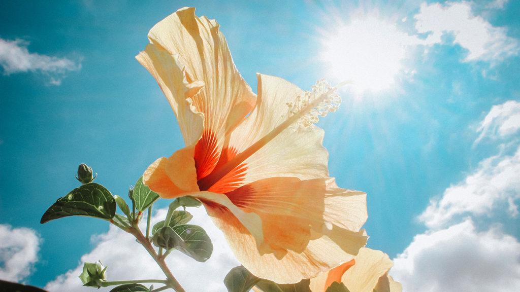 Hibiscus Flower in the sun
